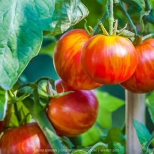 Tomaten Raritäten